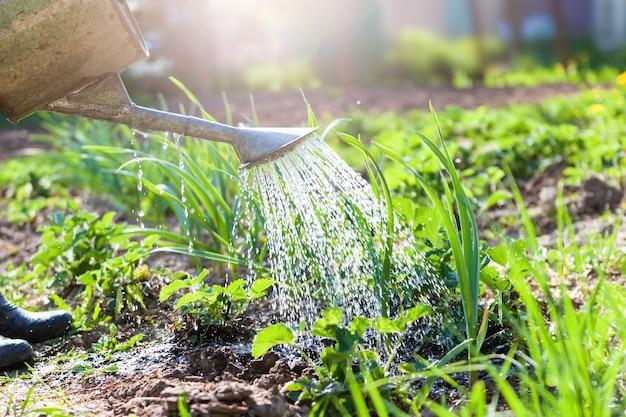 Bewässerung von pflanzen im garten mit einer gießkanne vor dem hintergrund der sonne. bauernhof, landgrundstück.