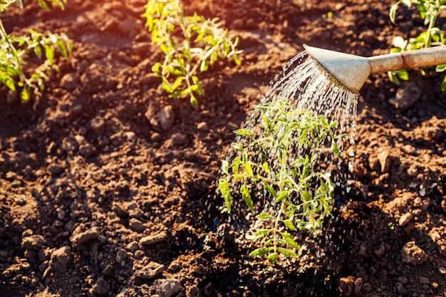 Bewässerung von tomatensprossen aus einer gießkanne bei sonnenuntergang auf dem land