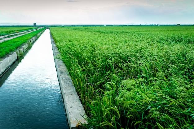 Bewässerungskanal für reisplantagen in der lagune von valencia.