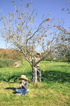 Beweglicher baum des älteren mannes und frische organische äpfel, die über ein glückliches nettes kind fallen, das auf dem gras sitzt. freizeitkonzept für großeltern und enkel.