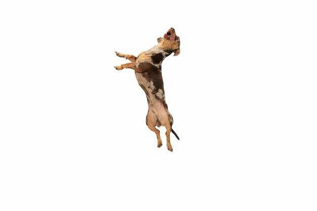Bewegung. süßer süßer welpe von dackel braunem hund oder haustier posiert isoliert auf weißer wand. bewegungskonzept, haustierliebe, tierleben. sieht fröhlich aus, lustig. exemplar für anzeige. spielen, laufen.