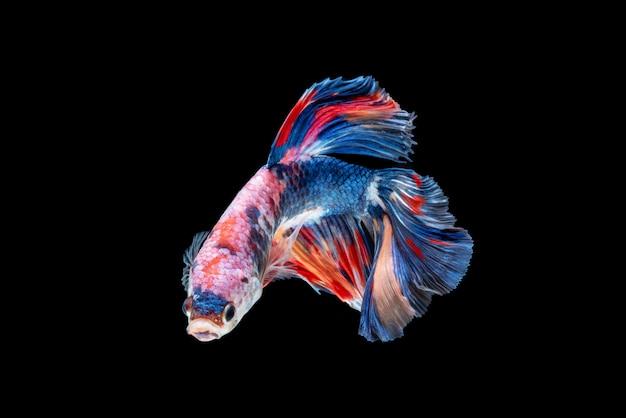 Bewegung von betta-fischen, siamesischen kampffischen