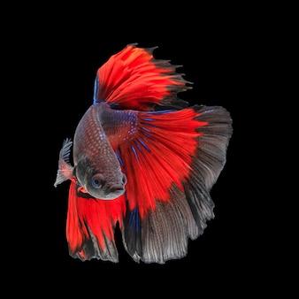 Bewegung von betta-fischen, siamesischer kampffisch, betta splendens lokalisiert auf schwarzem