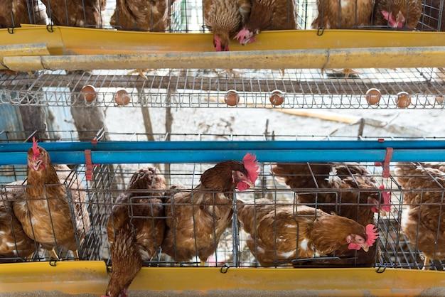 Bewirtschaften sie huhn in einer scheune, hennen im industriellen bauernhof der käfige