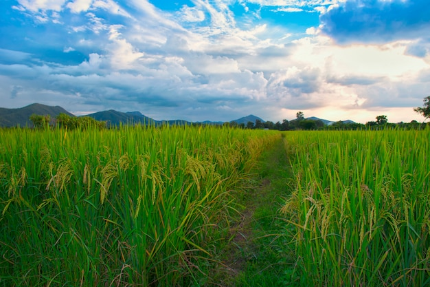 Bewölkte landschaft thailand des blauen himmels des grünen grases des reisfeldes wolken