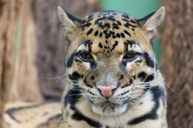 Bewölkter leopardabschluß herauf porträt neofelis-nebulosa