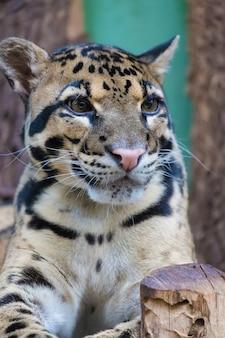 Bewölkter leopardabschluß herauf porträt