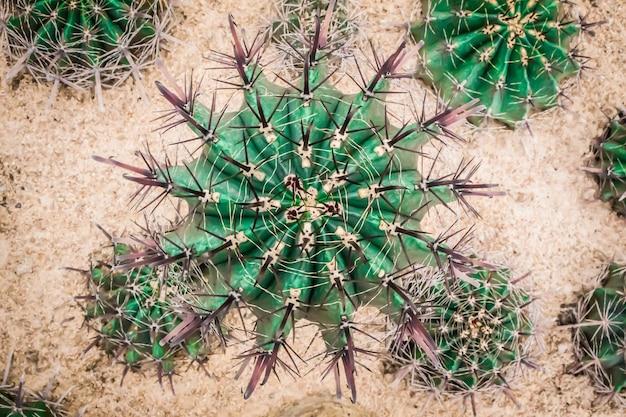 Bg kaktus.