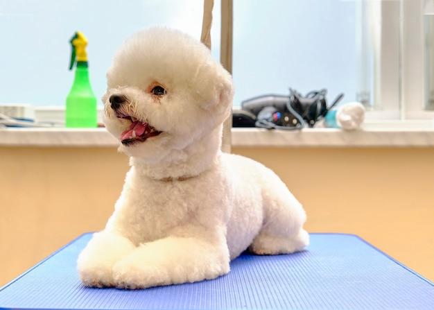 Bichon frise auf dem pflegetisch im salon für die pflege von tieren auf dem hintergrund des fensters.