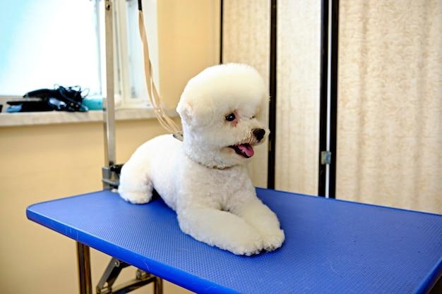 Bichon frize mit einem schönen haarschnitt auf dem pflegetisch.