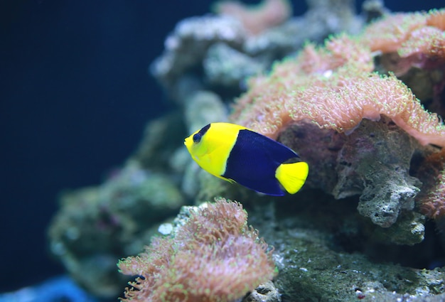 Bicolor angelfish (centropyge bicolor)
