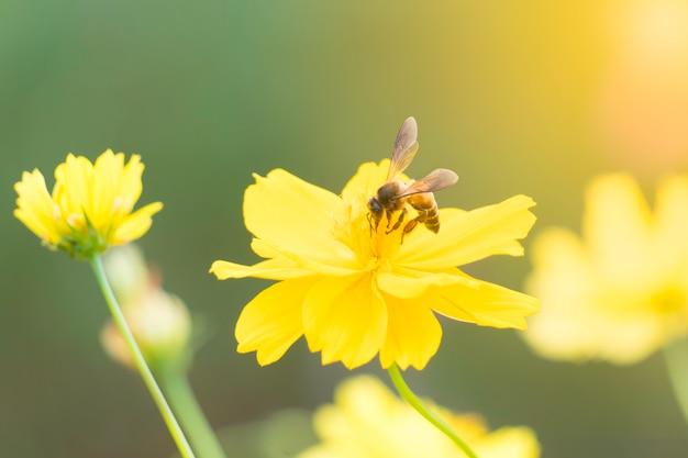 Biene auf blütenstaub des gelben süßen kosmos blüht im garten