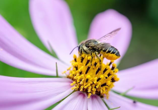 Biene auf der kamillenblüte