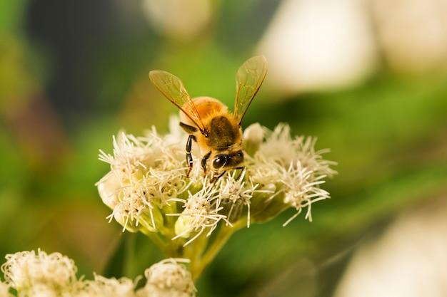 Biene auf der suche nach pollen