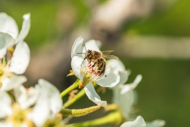 Biene auf einer blume der weißen blüten. eine honigbiene, die blütenstaub sammelt