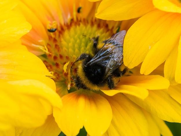Biene auf gelber gänseblümchenblume