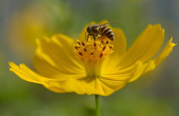 Biene auf gelblicher blume