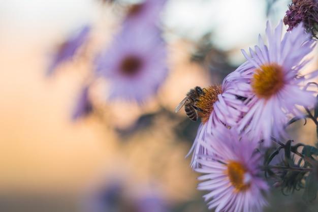 Biene auf hellpurpurnen blumen des herbstes