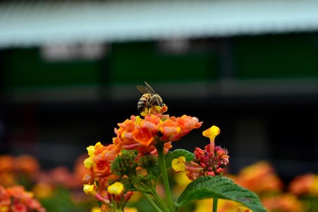 Biene auf orange blume