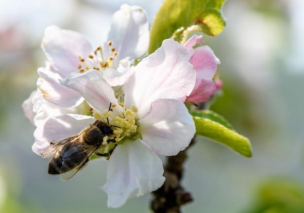 Biene auf pastellweiß und rosa