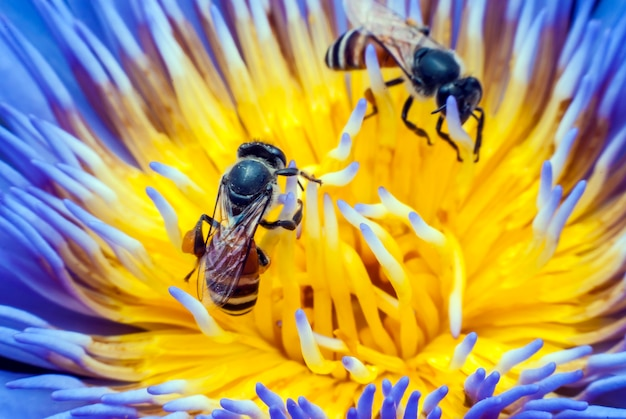Biene auf schöner lotusblume.