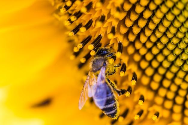 Biene auf sonnenblume. blume der sonnenblumennahaufnahme, natürlicher hintergrund.