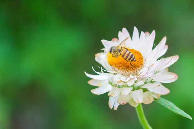 Biene auf weiße blume