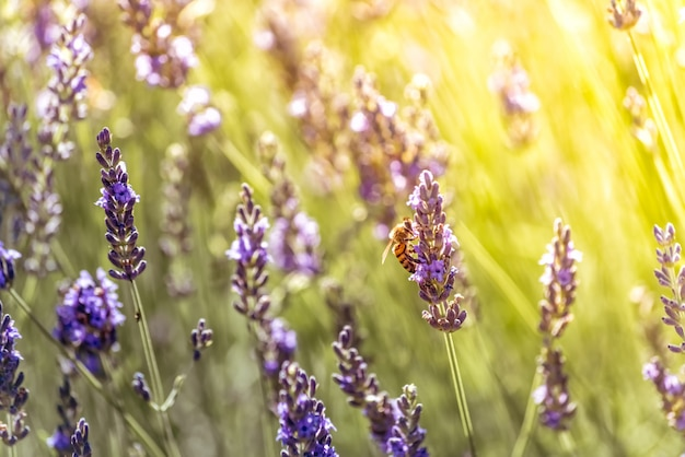 Biene bestäubt auf der suche nach nektar auf lila blüten von lavendel