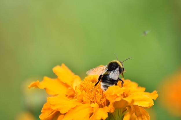 Biene bestäubt blüte im garten