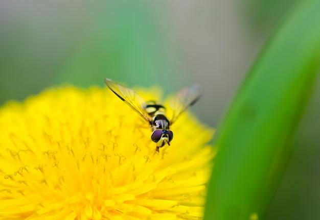 Biene, die auf einer schönen gelben blume sitzt