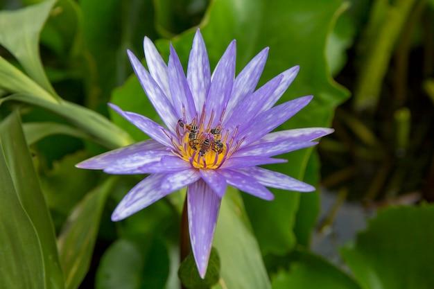 Biene, die blütenstaubkorn eine lotus-blume, fokus vorgewählt hält.