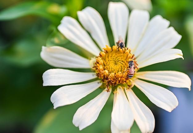 Biene, die magentarote oder gelbe farbige blume des zinnias bestäubt.