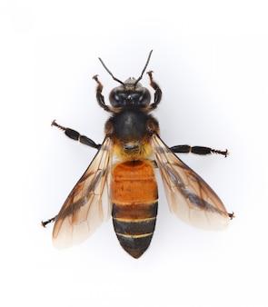 Biene getrennt auf weißem hintergrund