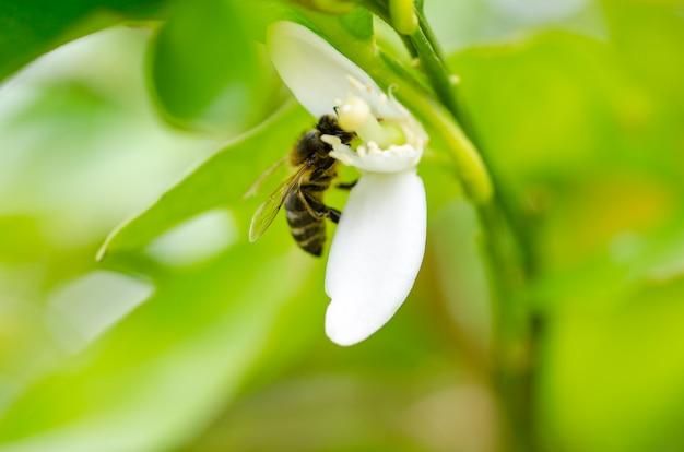 Biene in azahar-blüte