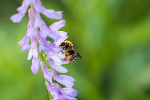 Biene polinierte violette purpurrote wilde blumen auf grün unscharfer natur