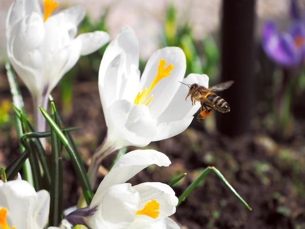 Biene sammelt blütenstaub auf der ersten frühlingsblume.