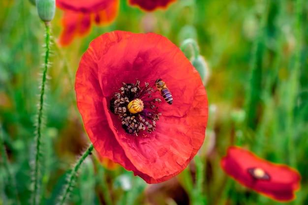 Biene sammelt honig von mohnblumen. schöne feldrote mohnblumen. natürliche drogen. lichtung roter mohnblumen. gedenktag, anzac-tag, gelassenheit. drogen- und liebesvergiftung, opium, medizinisch._