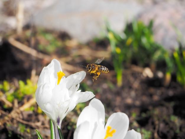 Biene sammelt pollen auf der ersten frühlingsblume.