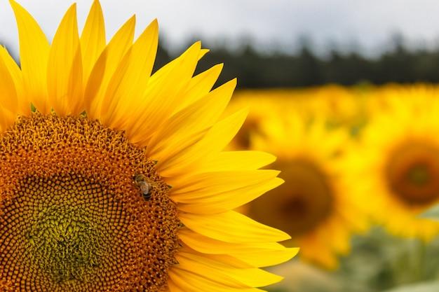 Biene sammelt pollen von einer sonnenblume