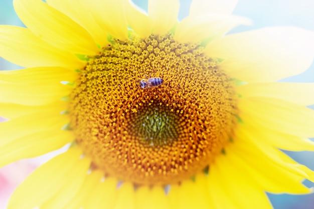 Biene sitzt auf sonnenblumenblume und sammelt nektar und pollen, nahaufnahme