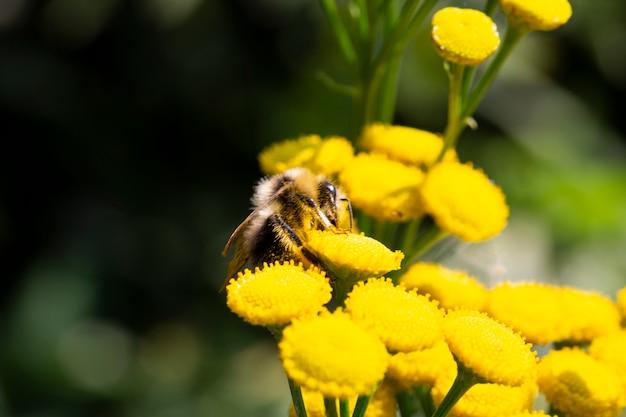 Biene und blume. eine biene sammelt honig von einer blume. makrofotografie. sommer- und frühlingshintergründe