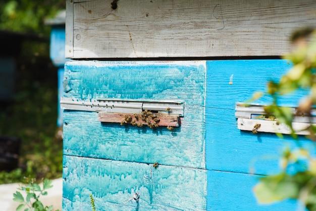 Bienen am eingang des bienenstocks hautnah. biene fliegt zum bienenstock. honigbienendrohne betritt den bienenstock.
