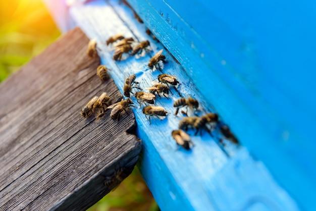 Bienen, die aus der honigsammlung zurückkehren. honigbienen im blauen bienenstockeingang. apis mellifera kolonie. fliegende imkerbienen. sommer im bienenhaus