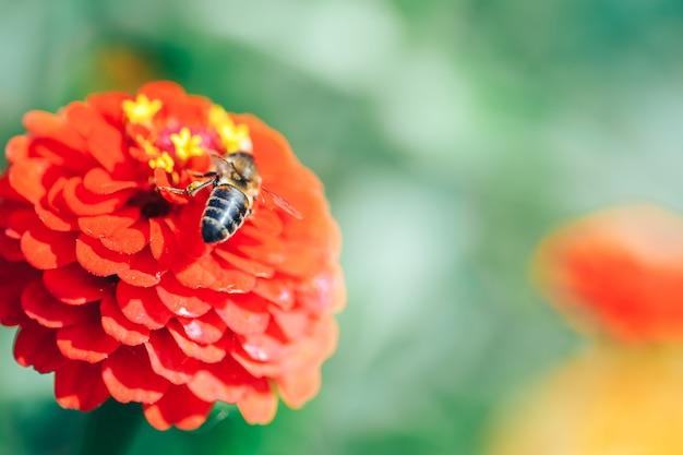 Bienen, die oben nektar vom roten blumenmakroabschluß sammeln