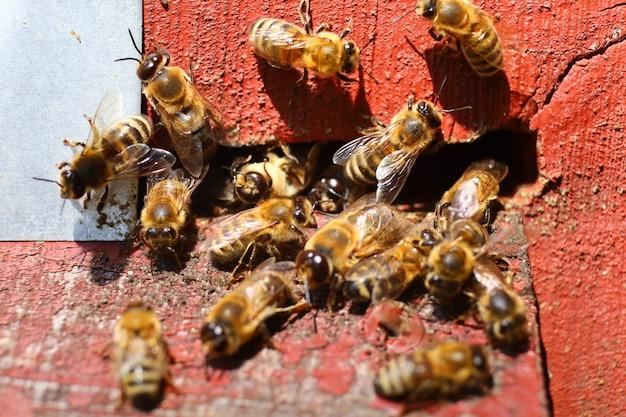 Bienen fliegen aus dem bienenstock
