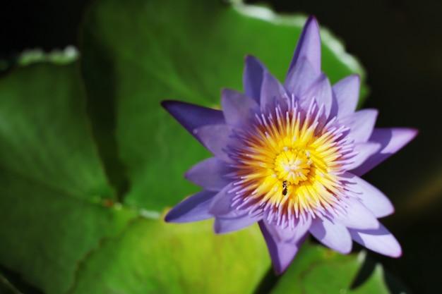 Bienen in der purpurroten blume des lotos. blühende seerose (nymphaea stellata willd) schwimmen in ruhigen flussgarten.