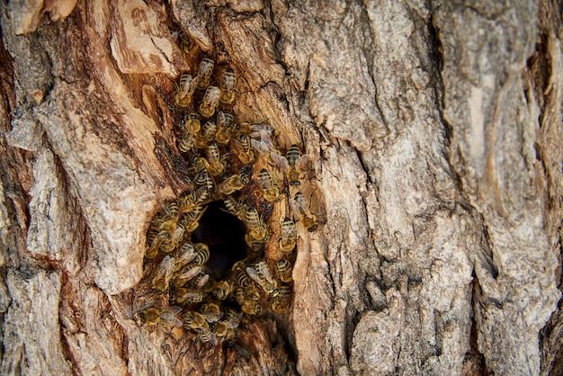 Bienen sammeln honig in einem wilden bienenstock in der mulde eines baumes.