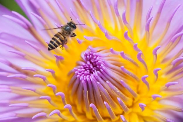 Bienen und schöner lotus.