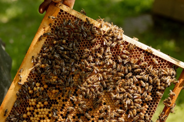 Bienenkönigin in einem bienenstock legt eier, die von arbeiterbienen unterstützt werden