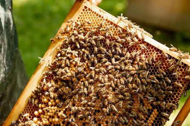 Bienenkönigin in einem bienenstock legt eier, die von arbeiterbienen unterstützt werden.